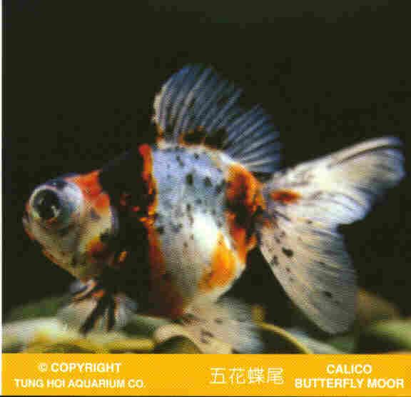 Calico Goldfish   Goldfish Photo Gallery
