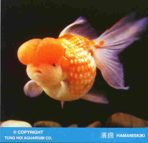 Goldfish Photo Gallery