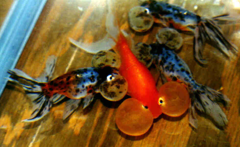 Black Goldfish Types dorsal-less varieties with