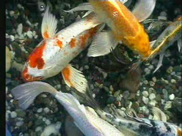 Singletail goldfish and koi carp for Goldfisch und koi